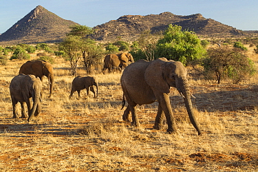 African Elephant (Loxodonta africana) herd, Samburu National Park, Kenya