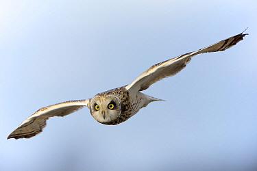 Short-eared Owl (Asio flammeus) flying, Zuid-Holland, Netherlands