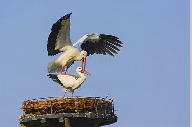 White Stork (Ciconia ciconia) pair mating on nest, Zuid-Holland, Netherlands