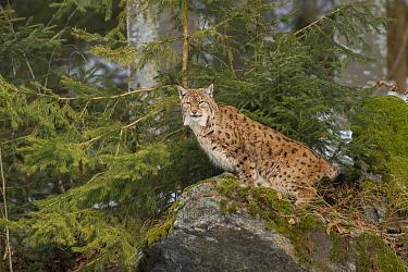 Eurasian Lynx (Lynx lynx), Bavarian Forest National Park, Bavaria, Germany