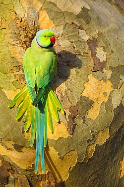 Rose-ringed Parakeet (Psittacula krameri) male at nest cavity, Noord-Holland, Netherlands