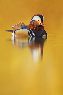 Mandarin Duck (Aix galericulata) male, Hessen, Germany