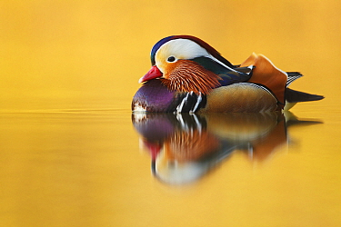 Mandarin Duck (Aix galericulata) male, Hessen, Germany