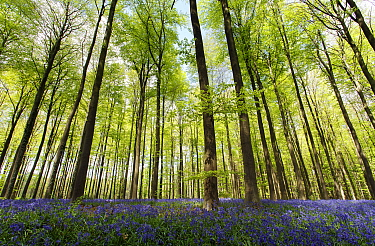 English Bluebell (Hyacinthoides nonscripta) flowering in European Beech (Fagus sylvatica) forest, Hallerbos, Belgium