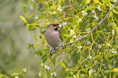 Bohemian Waxwing (Bombycilla garrulus) in tree with Mistletoe (Viscum album), Zuid-Holland, Netherlands