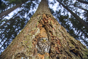 Little Owl (Athene noctua) in tree cavity, Zdarske Vrchy, Czech Republic