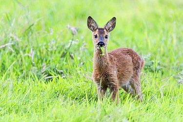 Western Roe Deer (Capreolus capreolus) fawn chewing, East Flanders, Belgium