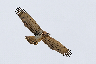 Short-toed Snake-Eagle (Circaetus gallicus) flying, Donana National Park, Andalusia, Spain