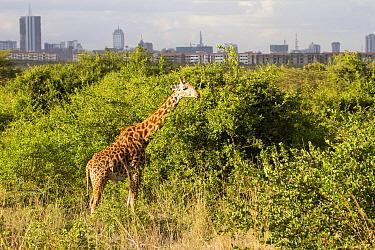 Masai Giraffe (Giraffa tippelskirchi) near buildings, Nairobi National Park, Kenya