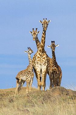 Masai Giraffe (Giraffa tippelskirchi) group, Masai Mara, Kenya