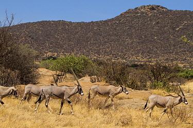 East African Oryx (Oryx beisa) group, Samburu National Park, Kenya