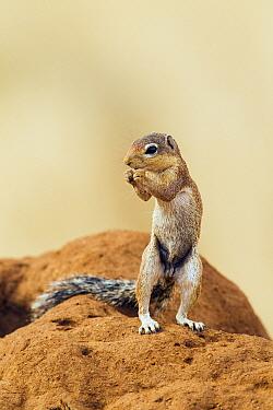 Unstriped Ground Squirrel (Xerus rutilus) on alert, Samburu National Park, Kenya