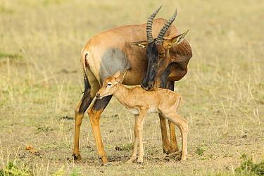 Korrigum Topi (Damaliscus korrigum) mother grooming calf, Masai Mara, Kenya
