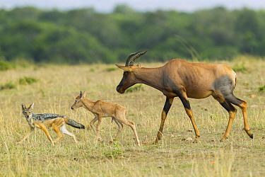 Korrigum Topi (Damaliscus korrigum) mother defending calf against attack by Black-backed Jackal (Canis mesomelas), Masai Mara, Kenya