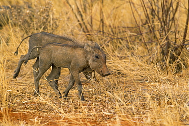 Warthog (Phacochoerus africanus) piglets walking, Samburu National Park, Kenya