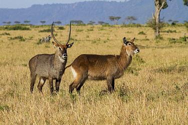 Waterbuck (Kobus ellipsiprymnus) pair, Masai Mara, Kenya