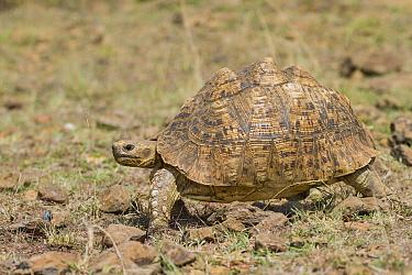 Leopard Tortoise (Geochelone pardalis) walking, Masai Mara, Kenya