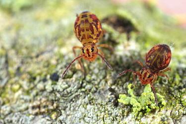 Springtail (Dicyrtomina ornata) pair, Drenthe, Netherlands  -  Jan van Duinen/ NiS