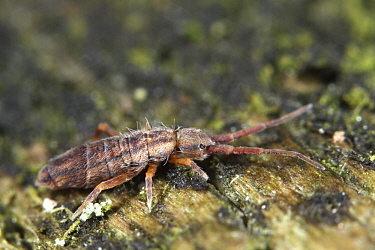 Hairy Ground Springtail (Orchesella flavescens), Drenthe, Netherlands  -  Jan van Duinen/ NiS