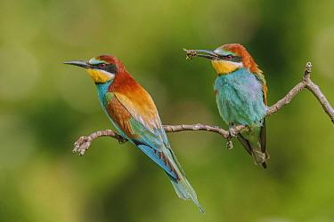 European Bee-eater (Merops apiaster) male offering bee prey in courtship display, Germany