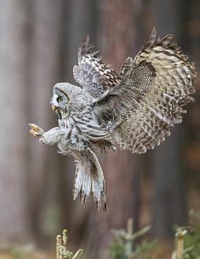 Great Gray Owl (Strix nebulosa) flying, Zdarske Vrchy, Czech Republic
