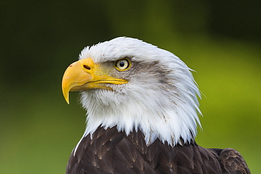 Bald Eagle (Haliaeetus leucocephalus), Hampshire, England