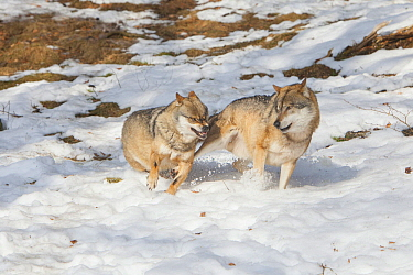 European Wolf (Canis lupus) pair fighting in snow, Bavarian Forest National Park, Bavaria, Germany
