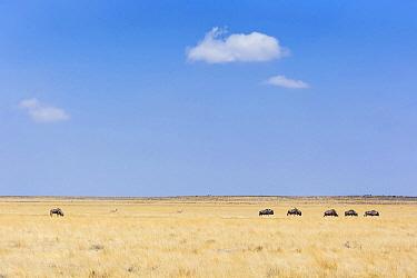 Blue Wildebeest (Connochaetes taurinus) herd in grassland, Etosha National Park, Namibia