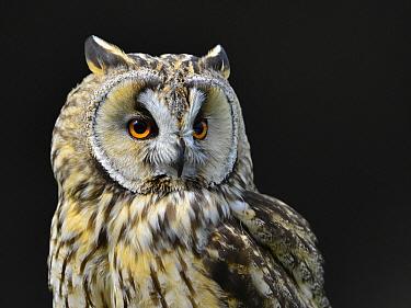Long-eared Owl (Asio otus), Overijssel, Netherlands