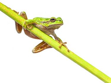 European Tree Frog (Hyla arborea), Lesbos, Greece