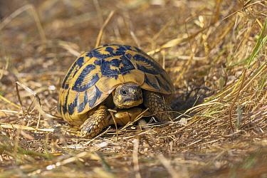 Hermann's Tortoise (Testudo hermanni) walking, Tuscany, Italy