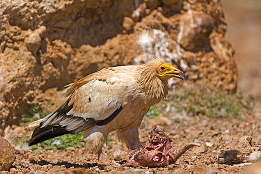 Egyptian Vulture (Neophron percnopterus) feeding on goat carcass, Pyrenees, Spain