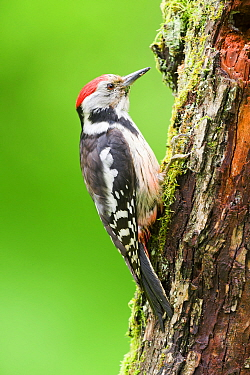 Middle Spotted Woodpecker (Dendrocopos medius), Hungary