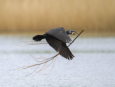 Great Cormorant (Phalacrocorax carbo) carrying nesting material, Zuid-Holland, Netherlands