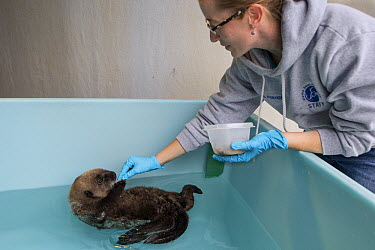 Sea Otter (Enhydra lutris) caretaker, Deanna Troeauga, feeding rescued three month old orphaned pup, Alaska SeaLife Center, Seward, Alaska  -  Suzi Eszterhas