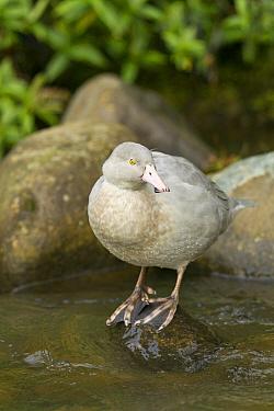 Blue Duck (Hymenolaimus malacorhynchos) male, Mount Ruapehu, Wanganui, North Island, New Zealand  -  Fabian Fopp, BIA