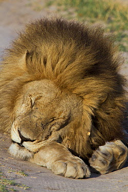 African Lion (Panthera leo) male sleeping, Selinda Reserve, Okavango Delta, Botswana  -  Mark Moffett