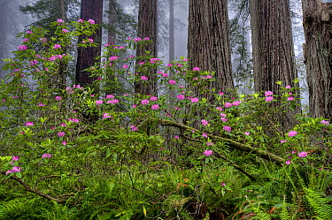 Pacific Rhododendron (Rhododendron macrophyllum) flowering in Coast Redwood (Sequoia sempervirens) forest, Redwood National Park, California  -  Jeff Foott