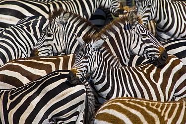 Burchell's Zebra (Equus burchellii) herd, Masai Mara, Kenya  -  Jeff Foott