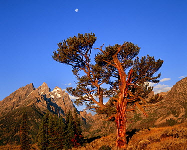 Old Patriarch and moon, Grand Teton National Park, Wyoming  -  Jeff Foott