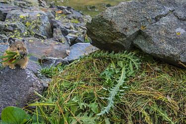 American Pika (Ochotona princeps) carrying grass for winter haypile in mountains, Colorado  -  Jeff Foott