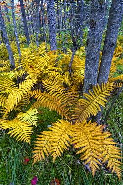 Cinnamon Fern (Osmunda cinnamomea) in forest, Baxter State Park, Maine  -  Jeff Foott