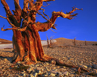 Rocky Mountains Bristlecone Pine (Pinus aristata) in spring, White Mountains, Inyo National Forest, California  -  Jeff Foott