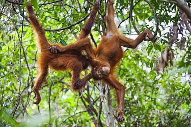Orangutan (Pongo pygmaeus) four year old young playing, Tanjung Puting National Park, Borneo, Indonesia  -  Suzi Eszterhas