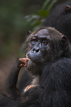 Eastern Chimpanzee (Pan troglodytes schweinfurthii) female, forty years old, holding her two month old granddaughter, Gombe National Park, Tanzania