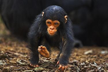Eastern Chimpanzee (Pan troglodytes schweinfurthii) infant male, one year old, running, Gombe National Park, Tanzania