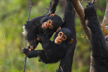 Eastern Chimpanzee (Pan troglodytes schweinfurthii) infant males, one year old, playing, Gombe National Park, Tanzania