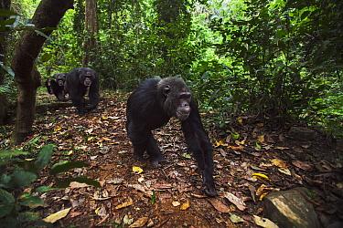 Eastern Chimpanzee (Pan troglodytes schweinfurthii) males walking along forest floor, Gombe National Park, Tanzania