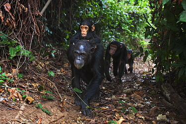 Eastern Chimpanzee (Pan troglodytes schweinfurthii) female, thirty years old, walking and carrying her one year old son, with her seven and three year old daughters following, Gombe National Park, Tanzania