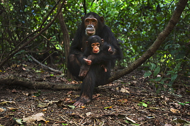 Eastern Chimpanzee (Pan troglodytes schweinfurthii) female, thirteen years old, playing with her two month old baby daughter, Gombe National Park, Tanzania